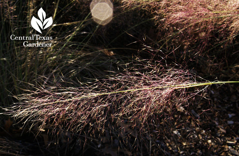 Gulf muhly seed heads