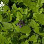 Mountain pea flower