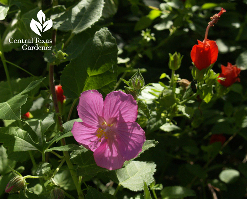 Rock rose and turk's cap wildlife plants