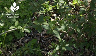 almond verbena