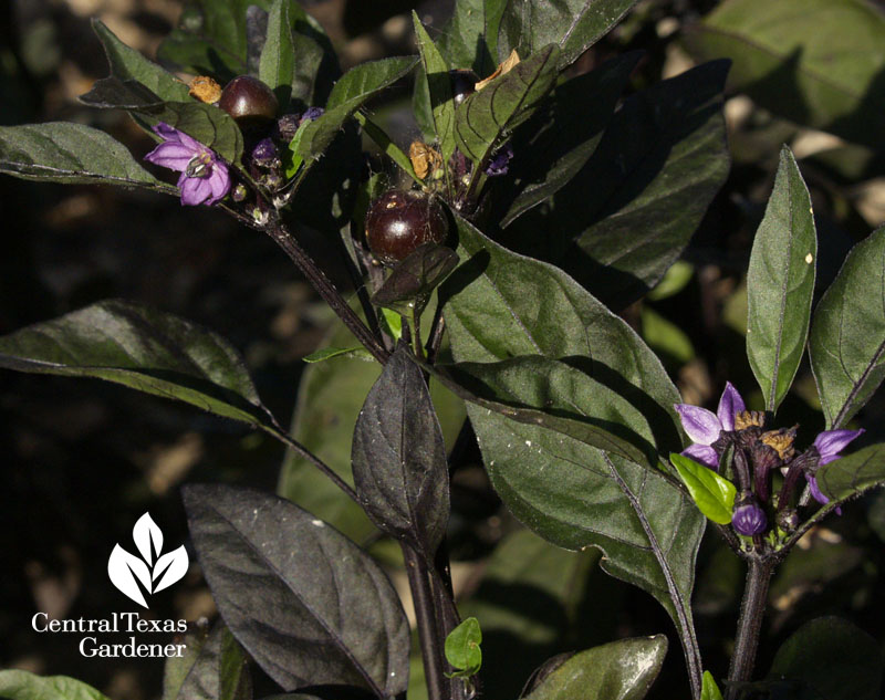 Black Pearl pepper flowers and fruit