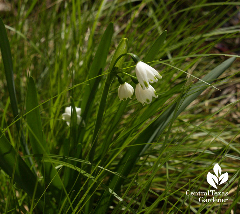 Leucojum with Texas sedge