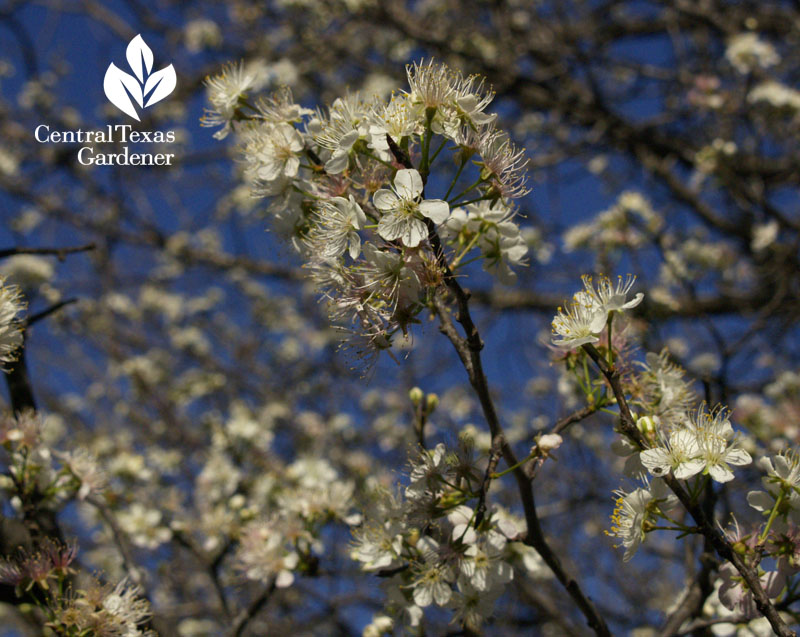 Mexican plum flowers Austin