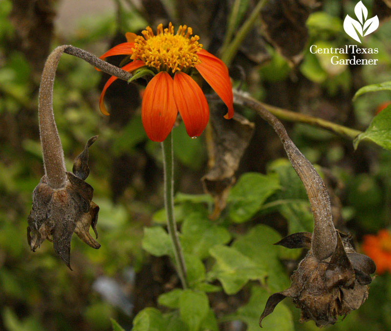 mexican tithonia flower with frozen stems