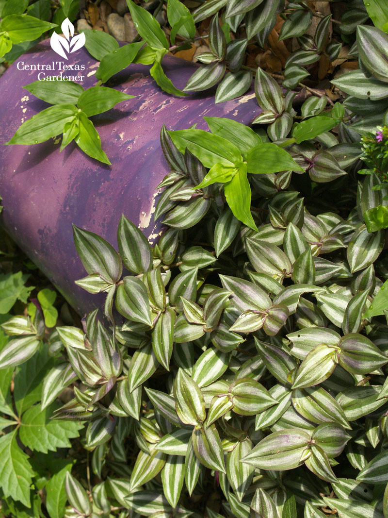 Variegated wandering jew lavender pot