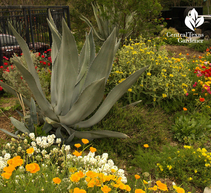 Mature agave americana with jerusalem sage
