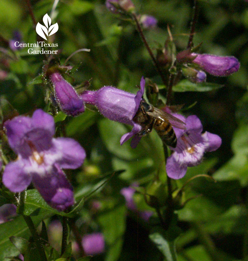 Bee on gulf penstemon flower