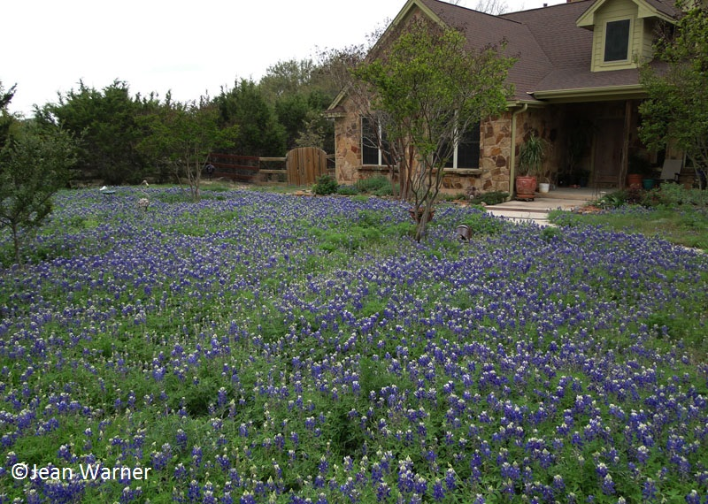 jean warner's bluebonnets front yard Central Texas