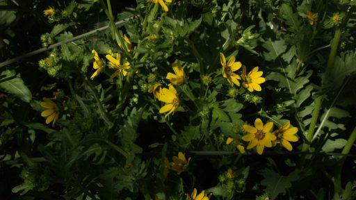 POW - engelmann's daisy