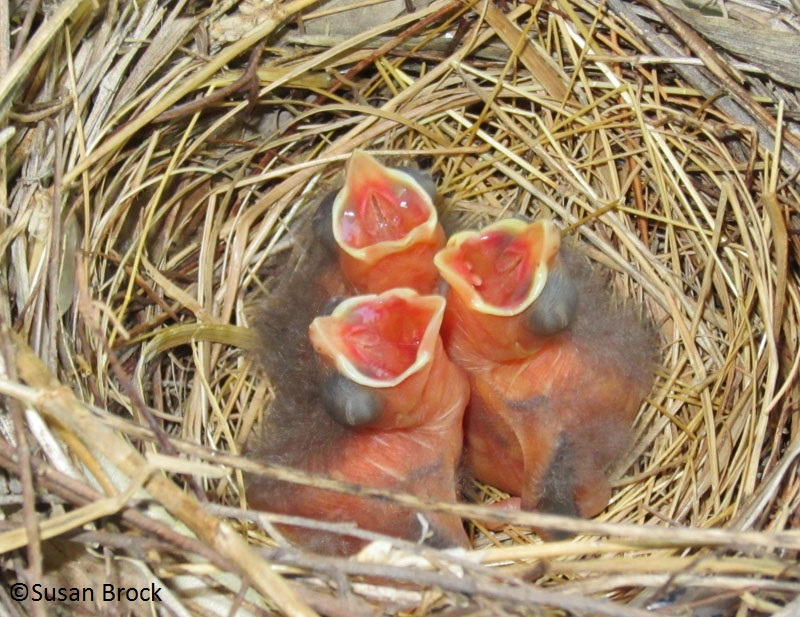 baby cardinals in hanging basket picture by Susan Brock