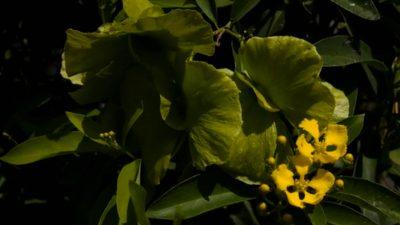 butterfly vine