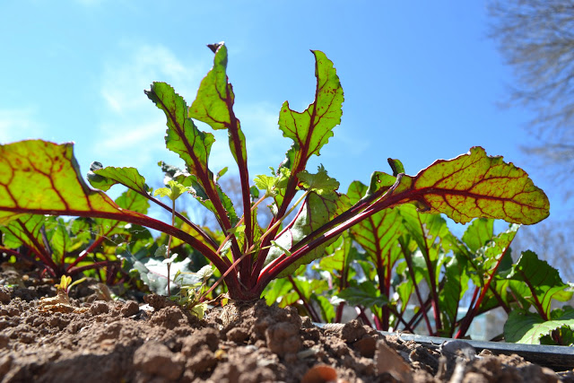 Urban Roots beet photo by Colleen Nelson