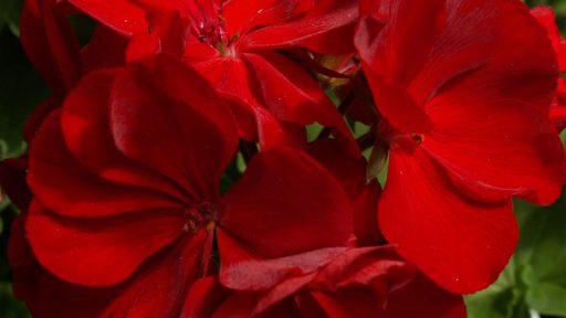 geranium calliope red