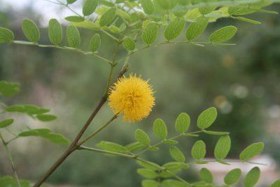 Goldenball Lead Tree