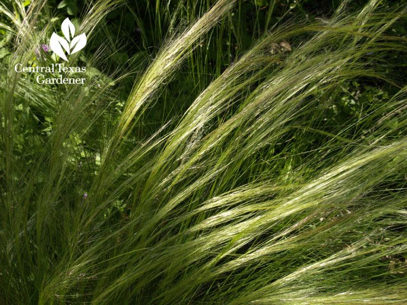 mexican feathergrass Nasella tenuissima