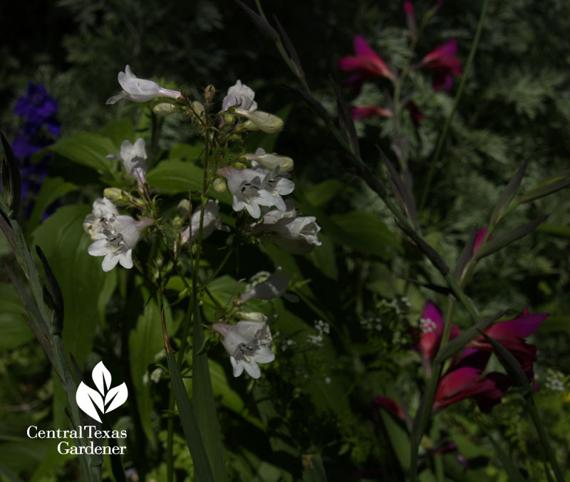 Penstemon cobaea with Byzantine gladiolus