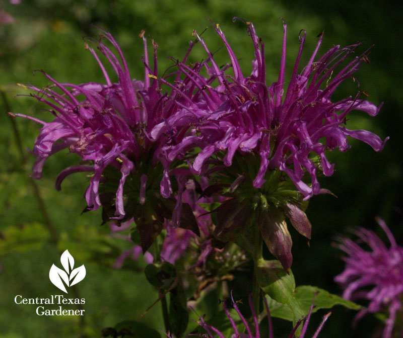 Peter's Purple bee balm Monarda hybrid Central Texas Gardener