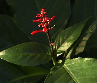 firespike plant