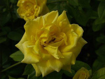 Rose (Grandma's Yellow)