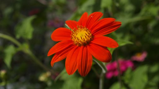 Mexican Tithonia