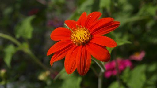 Mexican Tithonia