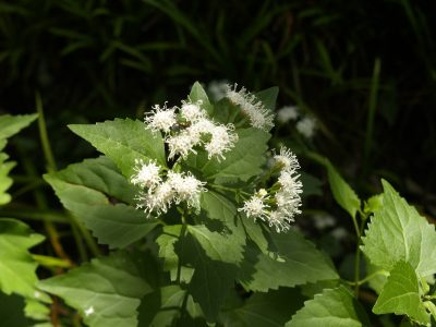 White mistflower central texas gardener white mistflower mightylinksfo