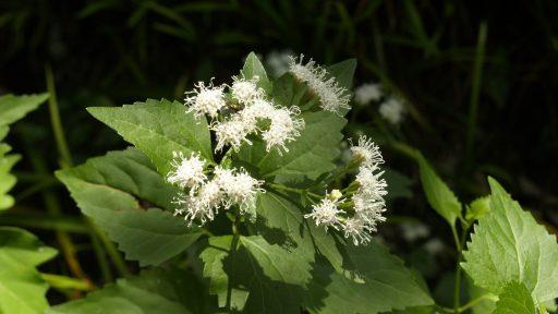 white mistflower