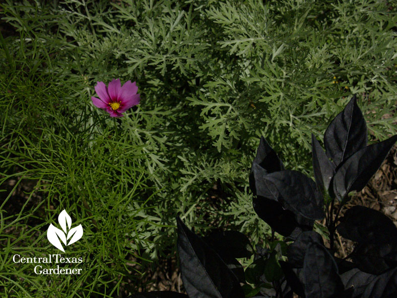 cosmos with artemisia and black pearl pepper