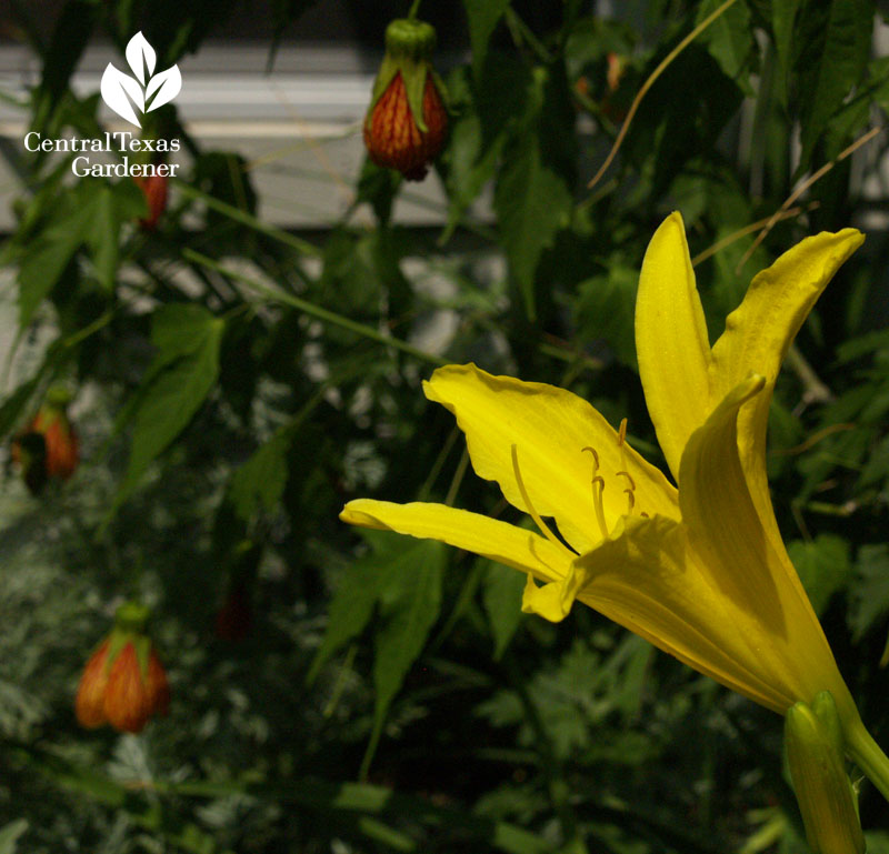yellow daylily and 'Patrick' orange abutilon
