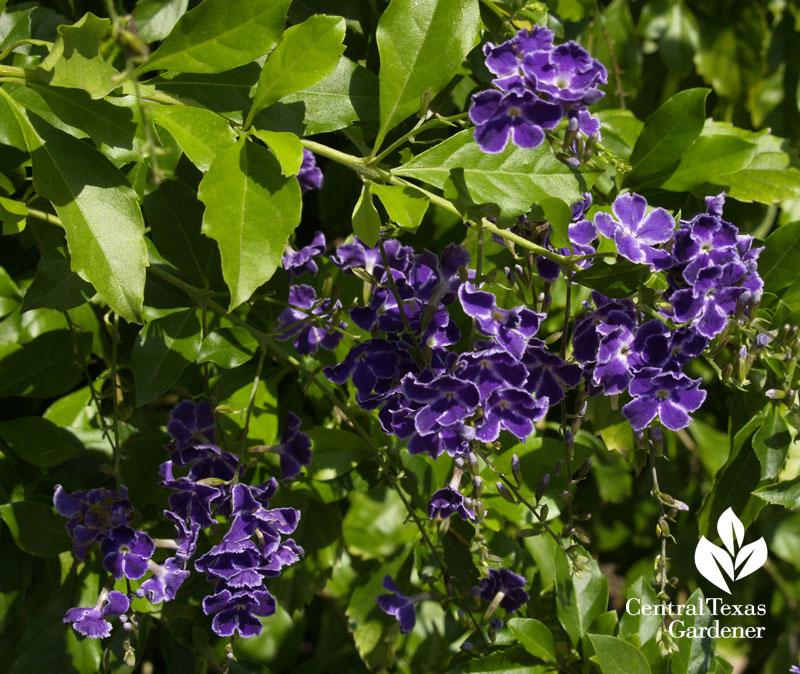 Duranta purple flowers Travis Texas AgriLife Extension