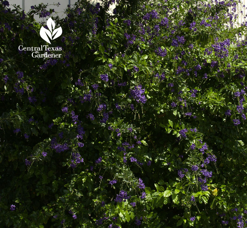 Duranta Travis County AgriLife Extension