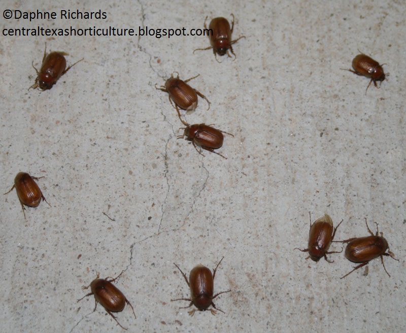june bugs photo by Daphne Richards Travis AgriLife Extension