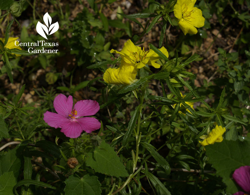 rock rose (pavonia) and Calylophus berlandieri