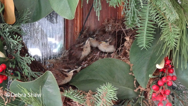 wrens in front door wreath debra shaw Central Texas Gardener