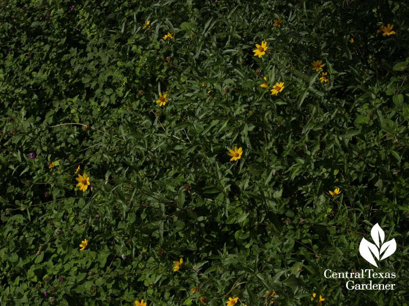 zexmenia Wedelia texana butterfly host
