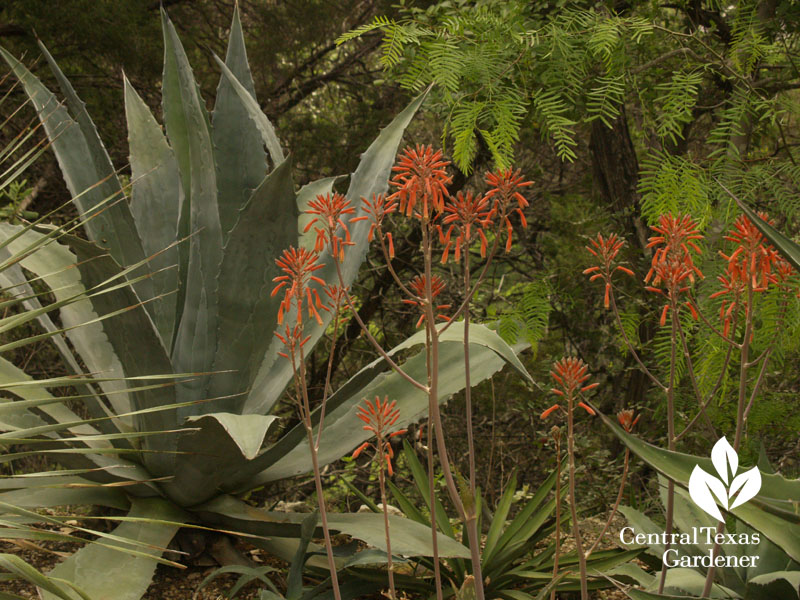Agave and aloe, Bob Barth garden, Central Texas Gardener
