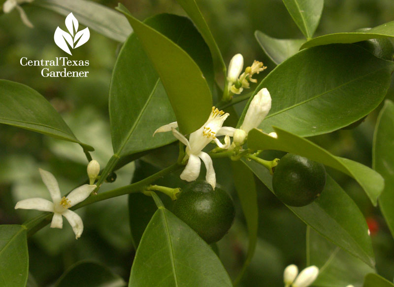calamondin fragrant flowers and fruit Central Texas Gardener