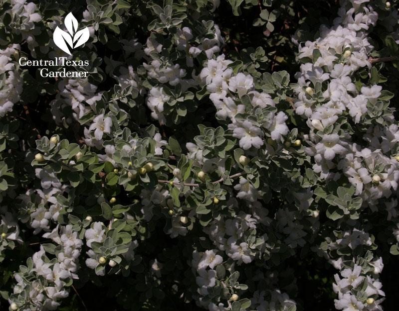'Silverado' cenizo white flowers