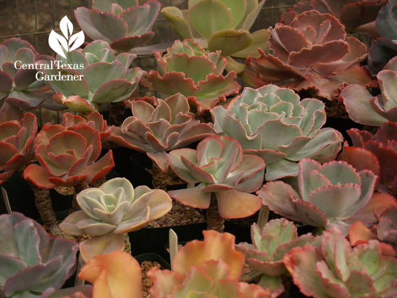 Echeverias Bob Barth collection on Central Texas Gardener