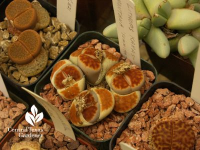 Lithops propagation with Bob Barth on Central Texas Gardener