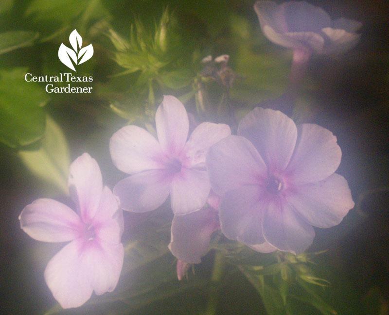 Phlox paniculata misty lens humid Texas