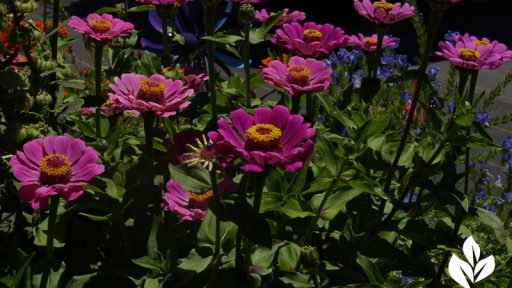 zinnias at Annie's Annuals