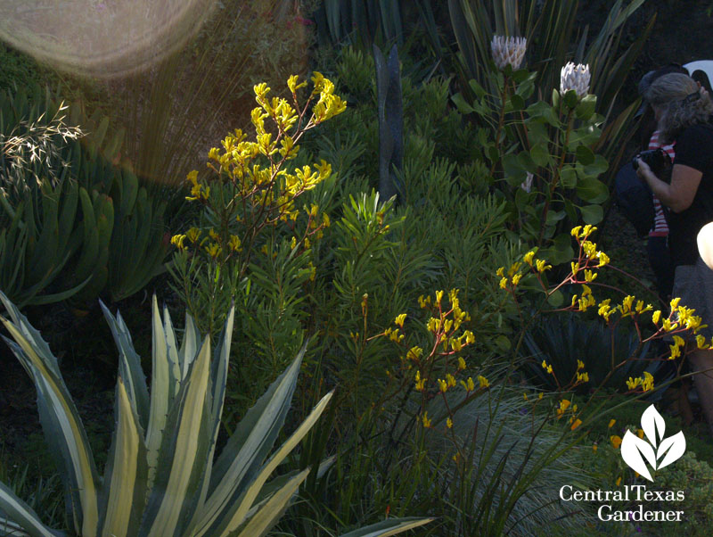 Agave and Kangaroo paws in sculptor Matt Gil's garden