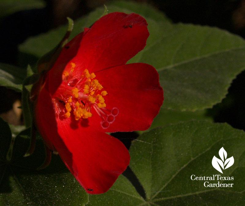 Hibiscus martianus native hibiscus