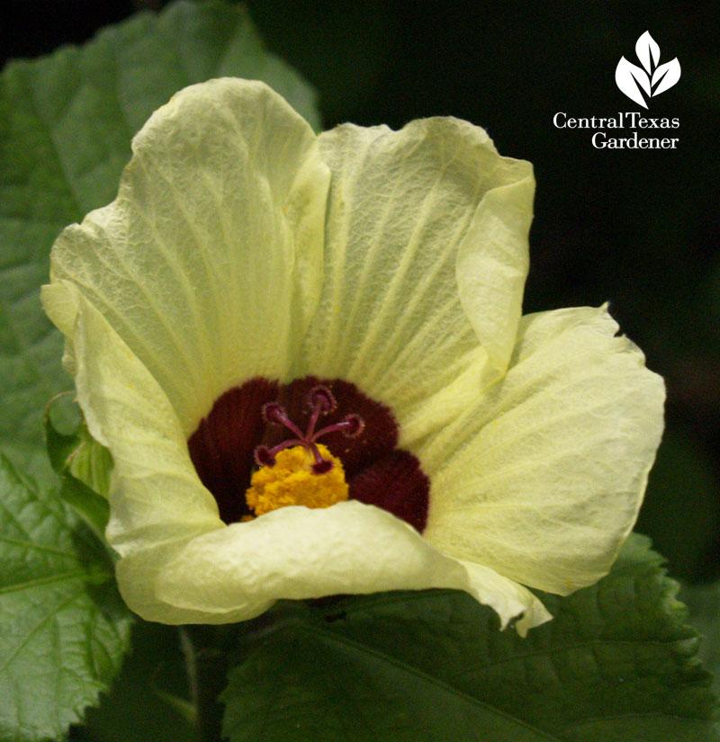 lemon rosemallow (Hibiscus calyphyllus)