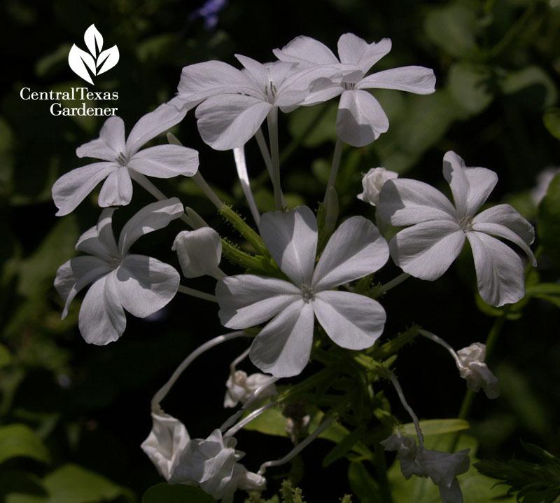 White plumbago Central Texas Gardener