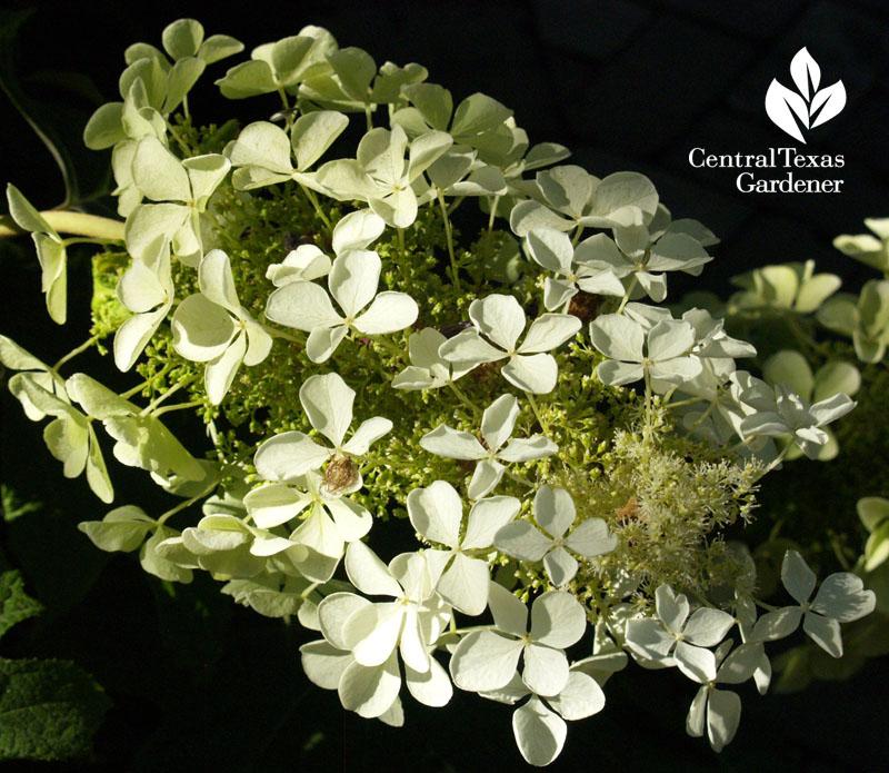 White hydrangea in Rebecca Sweet's garden