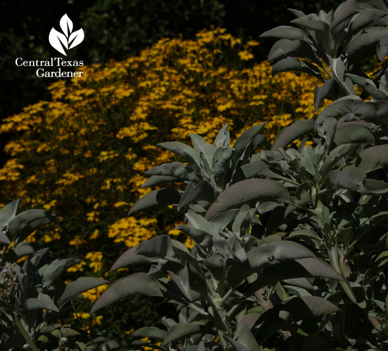 Silver and yellow at the San Francisco Botanical Garden