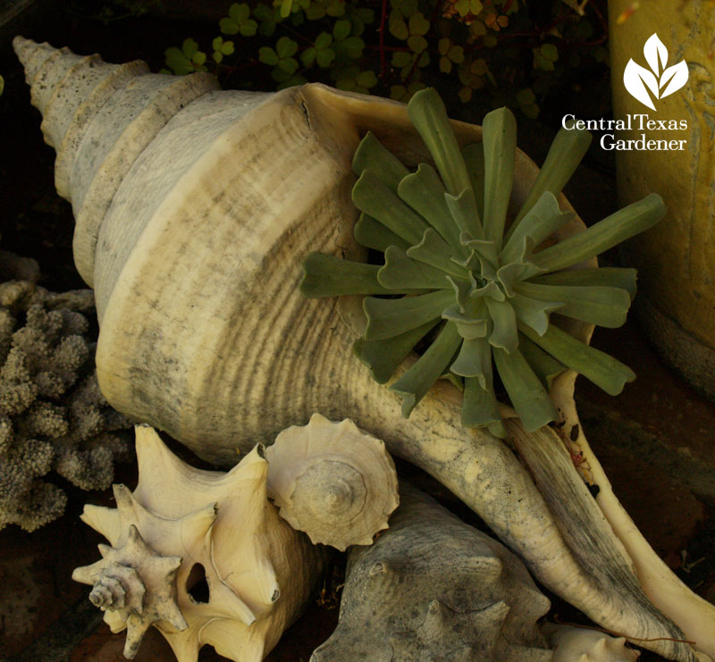 Rebecca Sweet garden succulent in seashell