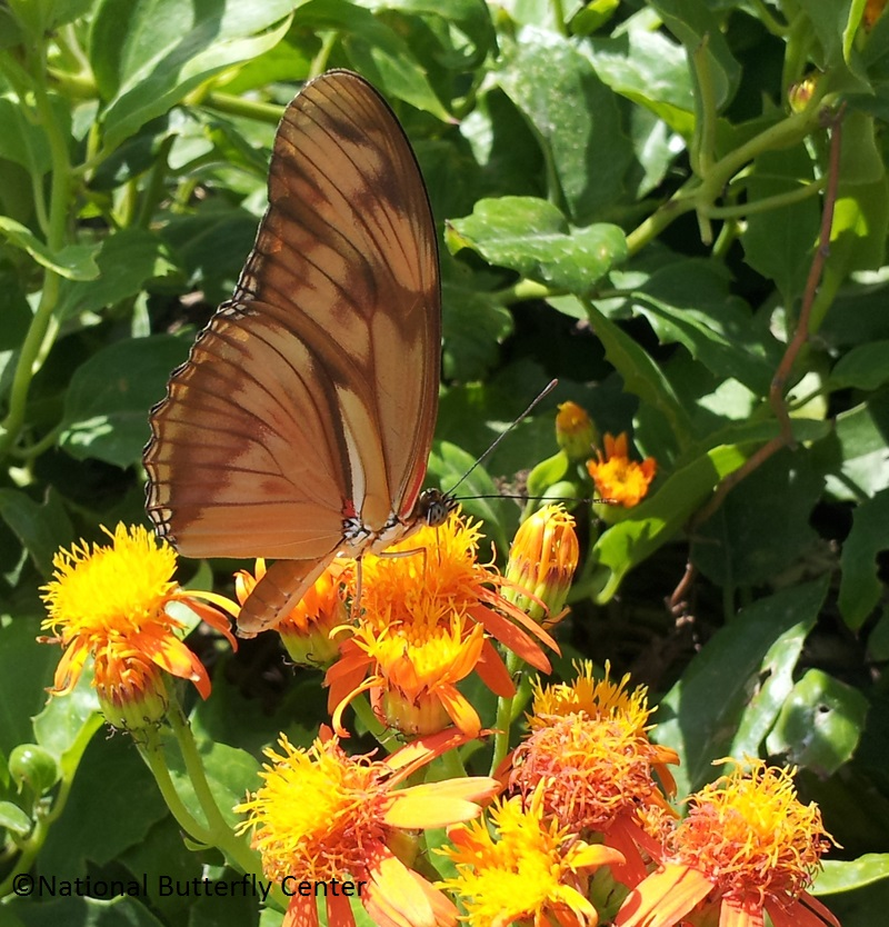 Julia butterfly on Mexican flame vine National Butterfly Center